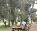 Donkey cart / Eselskarren